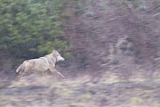 Thumbnail of the category Wolf in Germany / Canis lupus