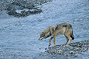Thumbnail of the category Gray Wolf / Grey Wolf / Canis lupus