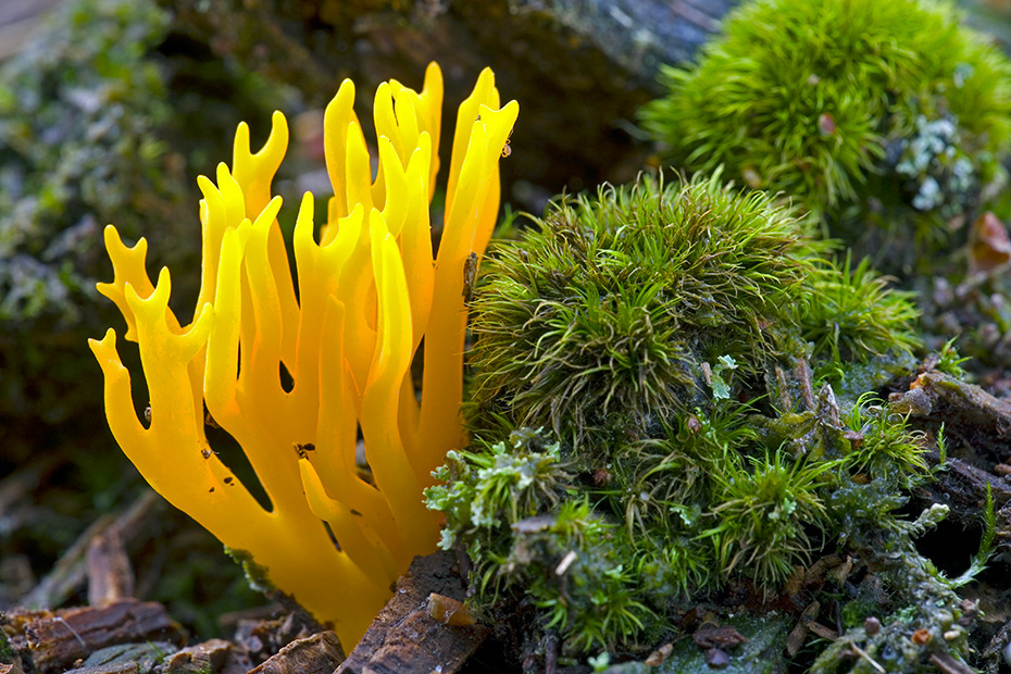 Klebriger Hoernling waechst auf faulendem Nadelholz  -  (Klebriges Schoenhorn - Foto Klebriger Hoernling zwischen Moosen), Calocera viscosa, Yellow Stagshorn grows on decaying conifer wood  -  (Yellow Stags Horn-Fungus  -  Photo Yellow Stagshorn between moss)
