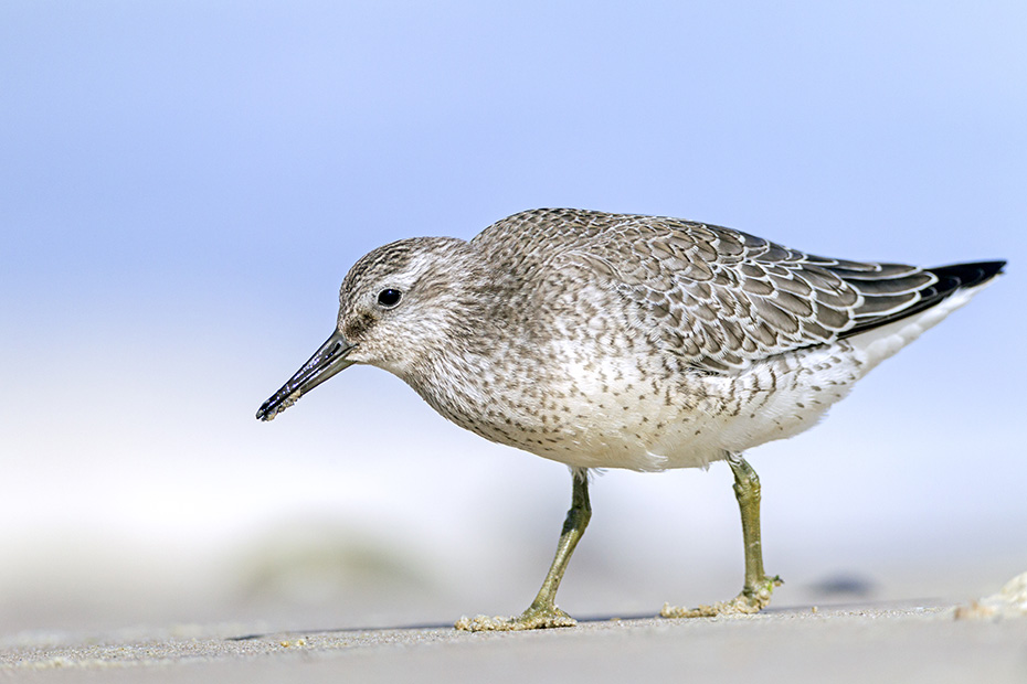 Knutt, die Geschlechter lassen sich anhand des Gefieders nicht unterscheiden  -  (Knuttstrandlaeufer - Foto Knutt im Watt auf Nahrungssuche), Calidris canutus, Red Knot, the plumage of both sexes look identical  -  (Knot - Photo Red Knot in non-breeding plumage foraging)