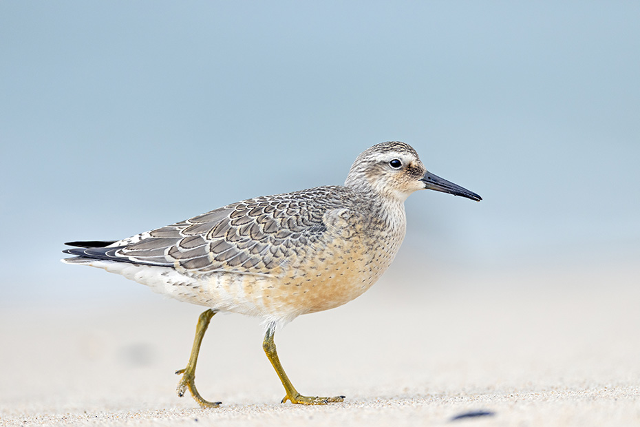 Knutt im Winterkleid auf Nahrungssuche an der Daenischen Nordseekueste, Calidris canutus, Red Knot in non-breeding plumage in search of food on the Danish North Sea coast