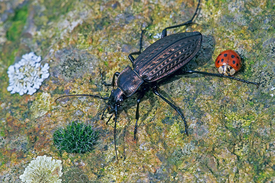 Koernige Laufkaefer sind in Nordamerika eingefuehrt worden  -  (Gekoernter Laufkaefer - Foto Koerniger Laufkaefer und Aiatischer Marienkaefer auf einem Stein), Carabus granulatus - Harmonia axyridis, Granulated Ground Beetle is introduced to North America  -  (Photo Granulated Ground Beetle and Asian Ladybeetle)