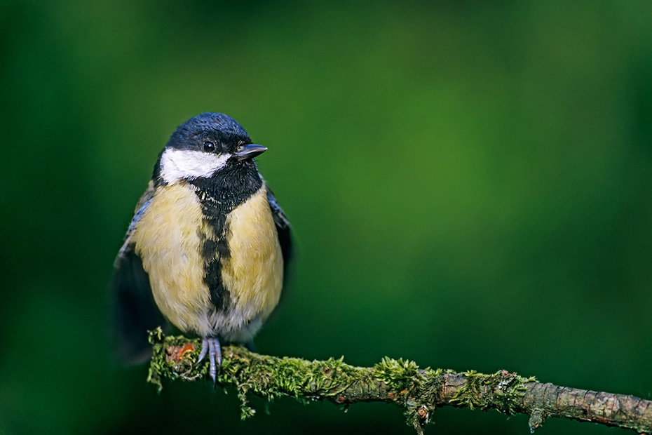 Kohlmeisen sind Hoehlenbrueter  -  (Foto Altvogel), Parus major, Great Tit nest in tree holes  -  (Photo adult bird)