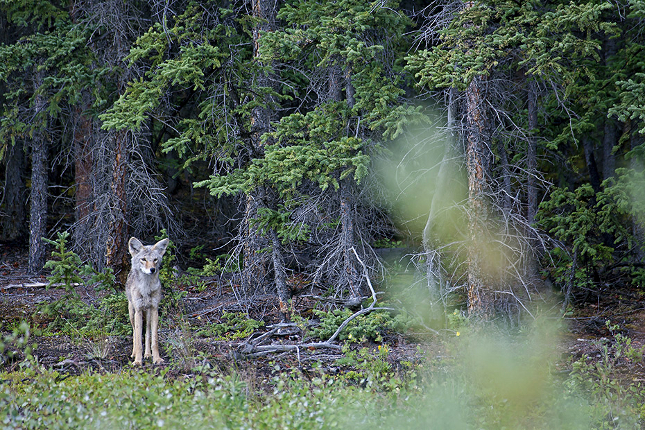 Kojoten sind kleiner als ihre naechsten Verwandten, die Grauwoelfe  -  (Praeriewolf - Foto Kojote beobachtet einen Grizzly), Canis latrans, Coyote is smaller than its close relative, the Grey Wolf  -  (Photo Coyote observes Grizzly)