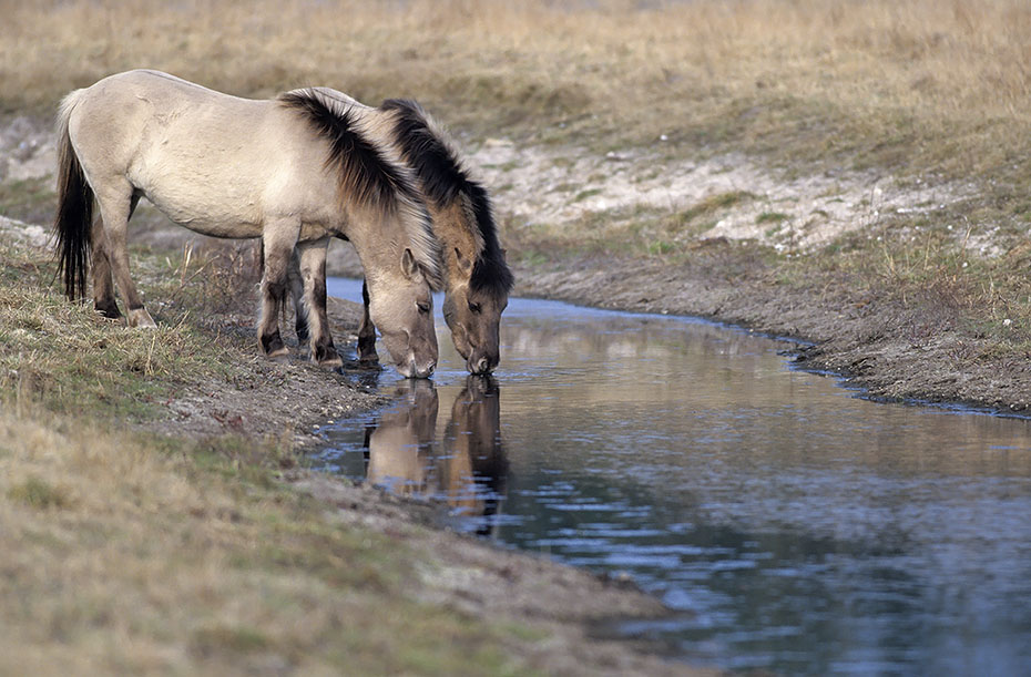 Konik - Hengst und Stute stehen trinkend an einem Flussufer - (Waldtarpan - Rueckzuechtung), Equus ferus caballus - Equus ferus ferus, Heck Horse stallion and mare drinks at a riverbank - (Tarpan - breeding back)