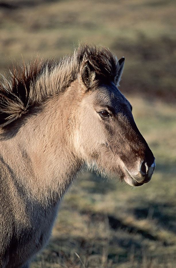 Konik - Portraet eines Fohlen im letzten Abendlicht - (Waldtarpan - Rueckzuechtung), Equus ferus caballus - Equus ferus ferus, Portrait of a Heck Horse foal in last evening light - (Tarpan - breeding back)