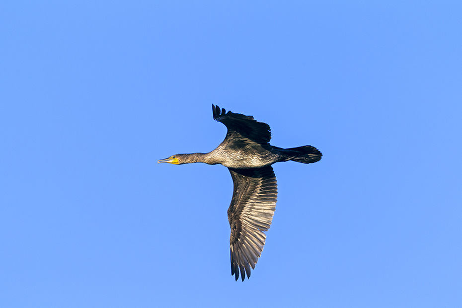 Kormorane sind Koloniebrueter  -  (Kormoran Atlantische Rasse - Foto Kormorane im Brutkleid), Phalacrocorax carbo, Great Cormorant breeds in colonies  -  (Black Cormorant - Photo Great Cormorants in breeding plumage)