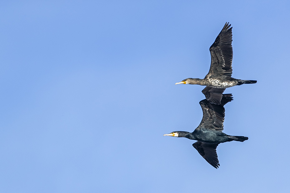 Kormoran taucht nach Beutefischen, Phalacrocorax carbo, Great Cormorant diving for fish