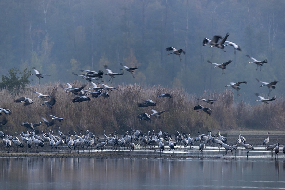 Kranich, in der Regel besteht das Gelege aus 2 Eiern  -  (Eurasischer Kranich - Foto Kraniche landen am Schlafplatz), Grus grus, Common Crane, the female usually lays 2 eggs  -  (Eurasian Crane - Photo Common Cranes landing at the roosting place)