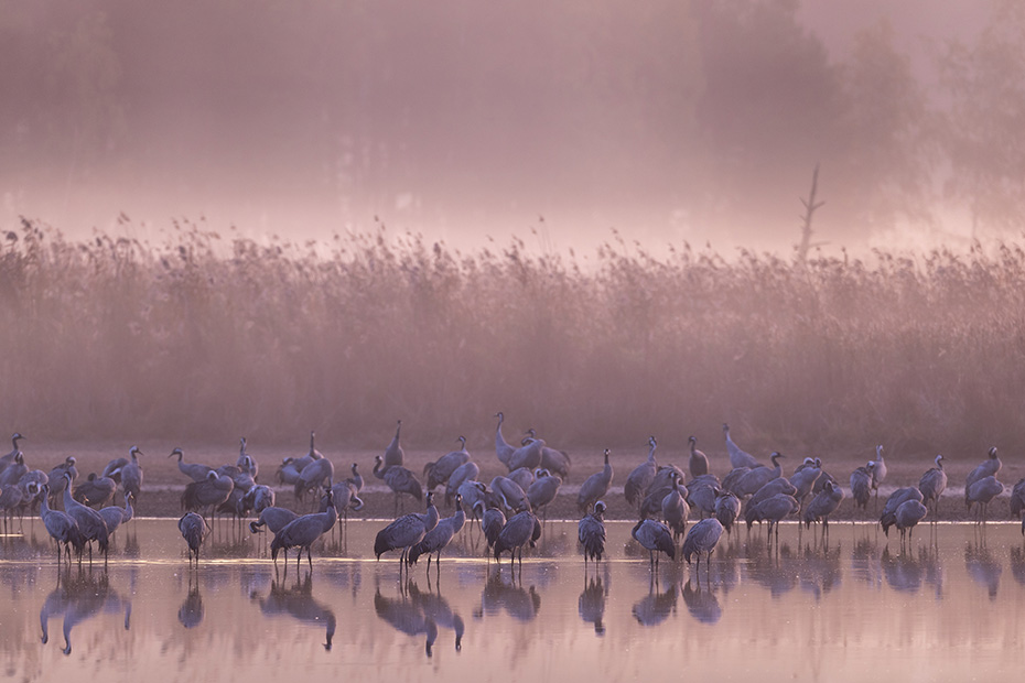 Kraniche galten frueher als Voegel des Gluecks  -  (Grauer Kranich - Foto Kraniche im ersten Morgenlicht am Schlafplatz), Grus grus, Common Crane were once considered birds of fortune  -  (Eurasian Crane - Photo Common Cranes in the first morning light at their roosting place)