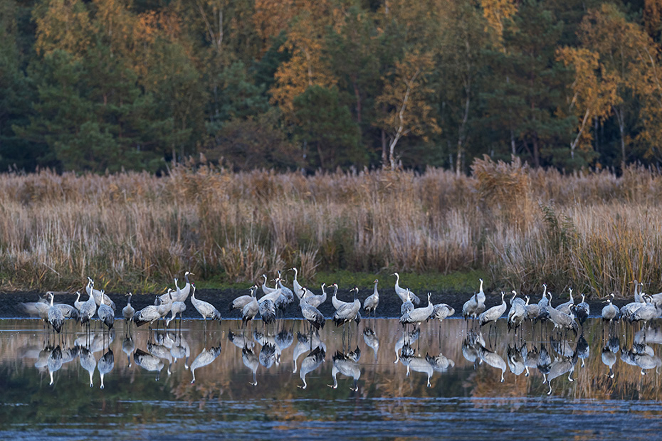 Kraniche haben einen lauten trompetenartigen Ruf, mich erinnert dieser Ruf an die Einsamkeit und Stille nordischer Waelder und Moore  -  (Grauer Kranich - Foto Kraniche am Schlafplatz), Grus grus, Common Crane has a loud trumpeting call  -  (Eurasian Crane - Photo Common Cranes at the roosting place)