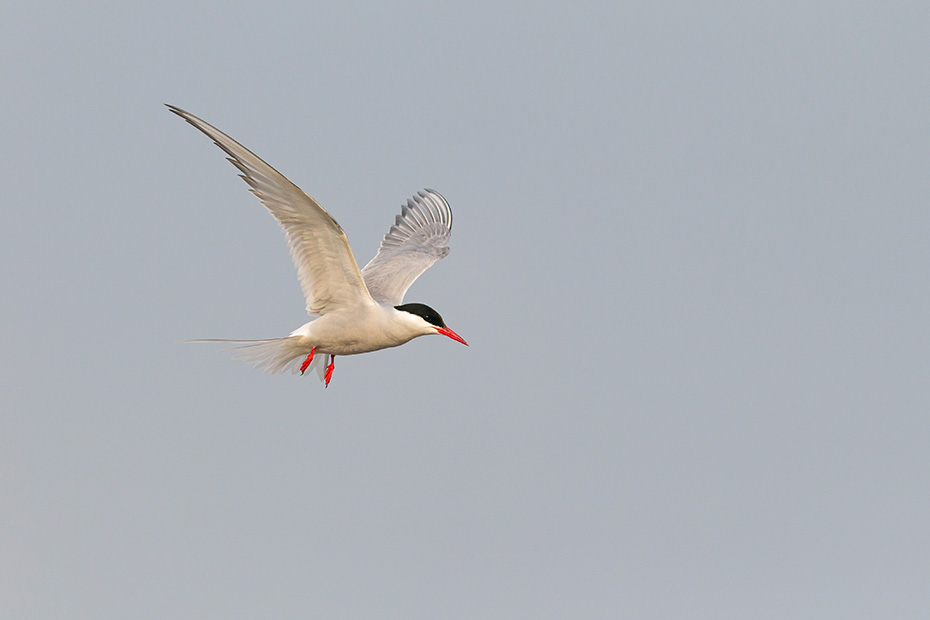 Kuestenseeschwalbe, das Gelege wird von beiden Geschlechtern bebruetet  -  (Foto Kuestenseeschwalbe im Brutkleid), Sterna paradisaea, Arctic Tern, both sexes incubate the eggs  -  (Photo Arctic Tern adult bird in breeding plumage)
