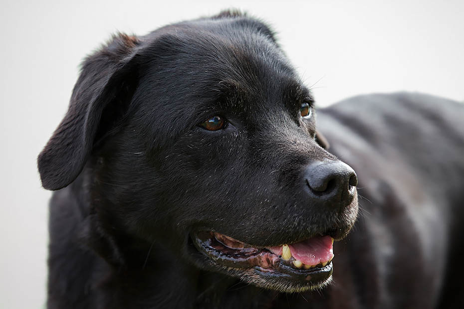 Labrador Retriever ist eine der beliebtesten Hunderassen in Grossbritanien und in den USA - (Foto - Portraet einer sehr alten Huendin), Canis lupus familiaris, Labrador is one of the most popular breeds of dog in the UK and the US - (Photo portrait of a very old she-dog)