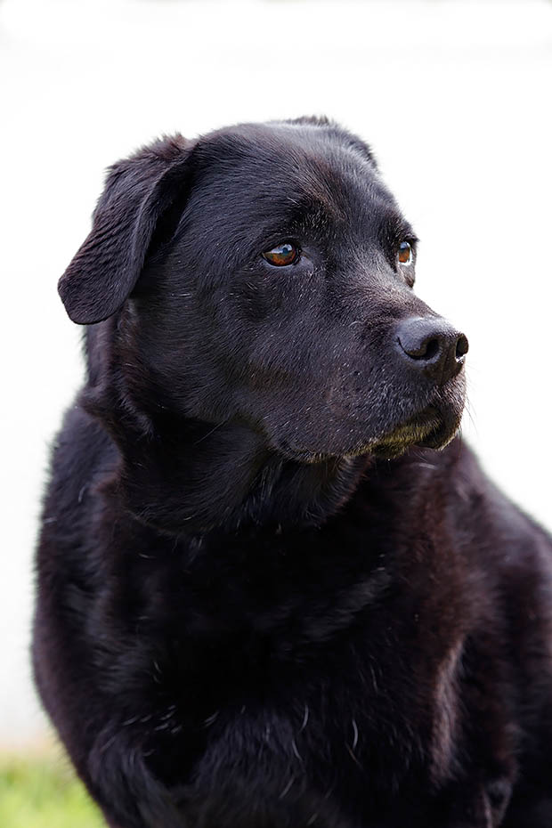 Labrador Retriever, 3 verschiedene Fellfarben werden akzeptiert, schwarz, gelblich und dunkelbraun - (Foto - Portraet einer sehr alten Huendin), Canis lupus familiaris, Labrador are registered in three colours, in black, yellow and chocolate brown - (Photo portrait of a very old she-dog)