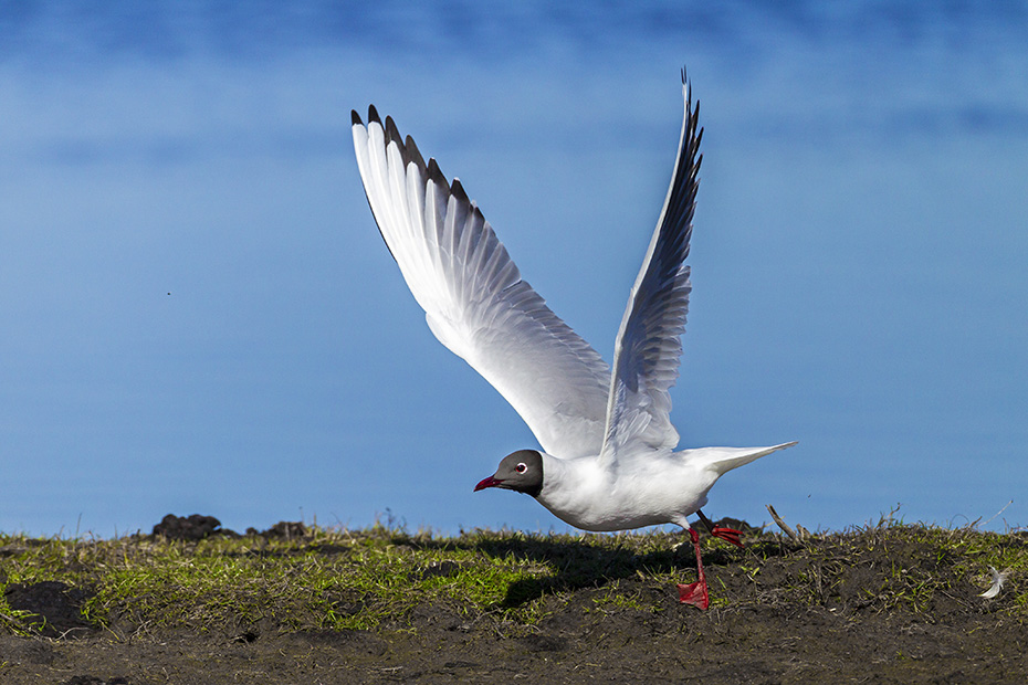 Lachmoewe, in einigen Regionen gelten die Eier als eine Delikatesse  -  (Foto Altvogel im Flug), Chroicocephalus ridibundus - (Larus ridibundus), Black-headed Gull, the eggs are a delicacy in some regions  -  (Common Black-headed Gull - Photo adult bird in flight)