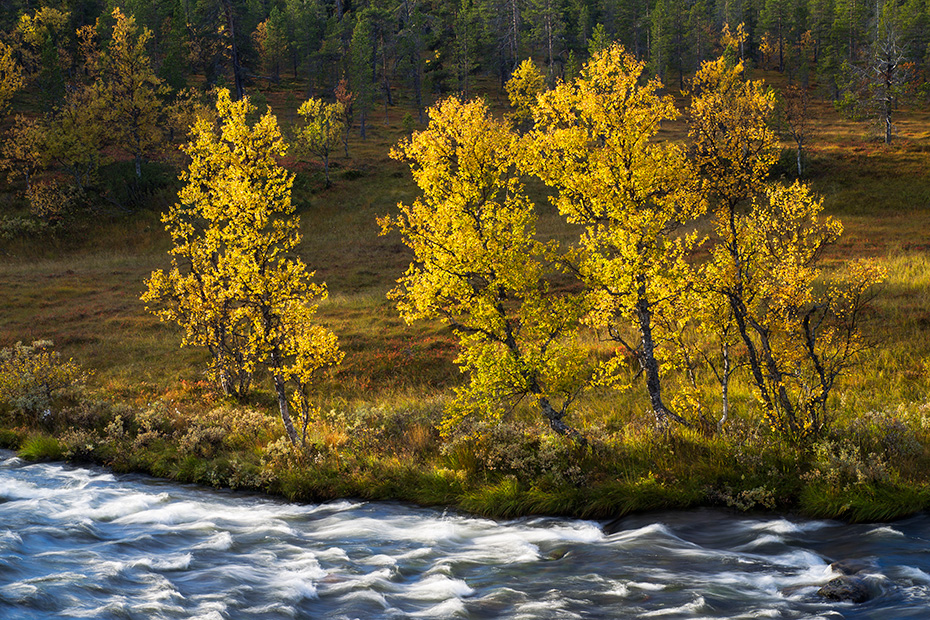 Birken im Herbst am Ufer des Groevlan, Dalarnas Laen - Groevlan river, Birches in autumn at Groevlan riverbank