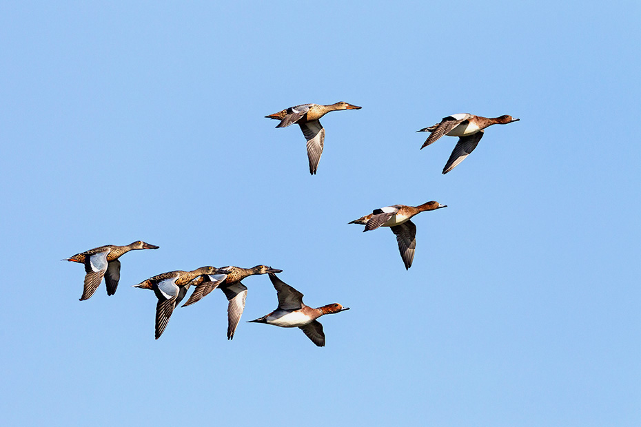 Loeffelenten erreichen eine Fluegelspannweite von 76cm  -  (Foto Loeffelenten im Ruhekleid und Pfeifenten im Flug), Anas clypeata  -  Anas penelope, Northern Shoveler has a wingspan of 76cm  -  (Shoeveler - Photo Northern Shoveler in non-breeding plumage and Eurasian Wigeon in flight)