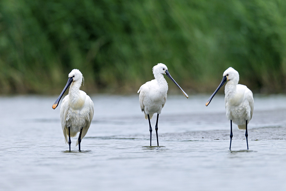 Loeffler brueten einmal im Jahr  -  (Loeffelreiher - Foto Loeffler an der Deutschen Nordseekueste), Platalea leucorodia, Eurasian Spoonbill, one brood each year is normal  -  (European Spoonbill - Photo Eurasian Spoonbills at the German North Sea coast)