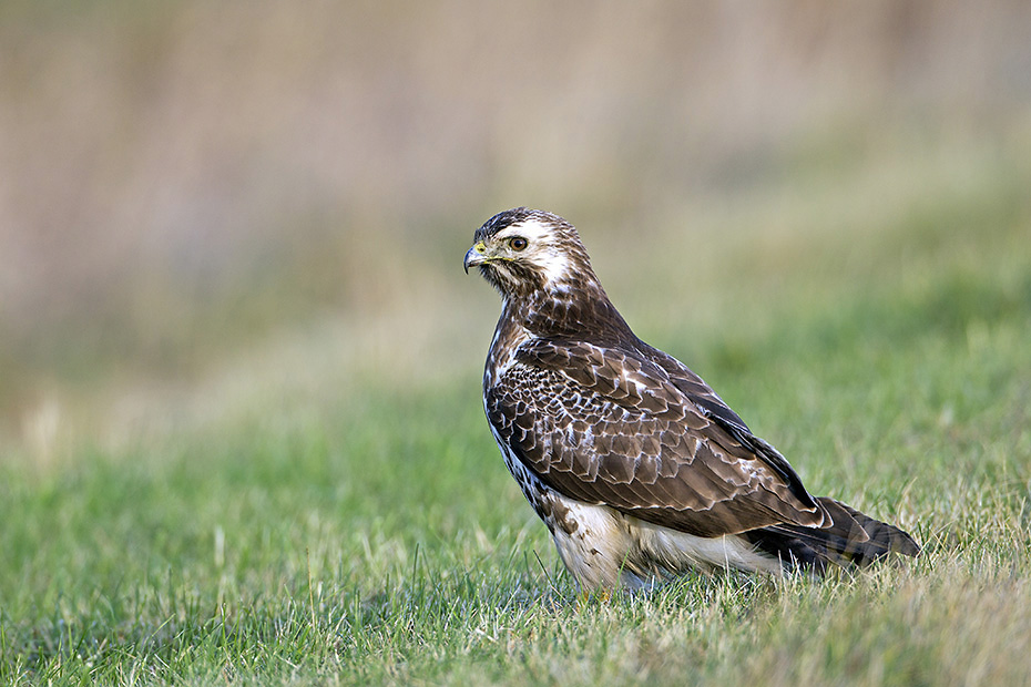 Maeusebussard, das Weibchen legt in der Regel 2 - 3 Eier, selten besteht das Gelege aus 4 Eiern  -  (Foto Maeusebussard im Winter), Buteo buteo, Common Buzzard, the female lays usually 2 to 3 eggs, sometimes 4  -  (European Buzzard - Photo Common Buzzard in winter)