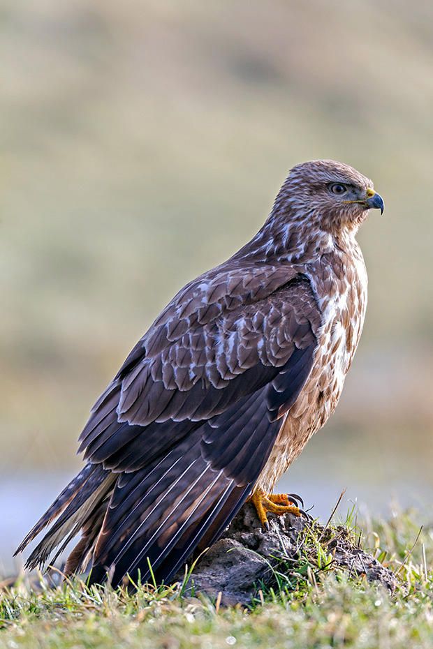 Maeusebussarde erreichen eine Fluegelspannweite von 109 - 136cm  -  (Foto Maeusebussard bei der Gefiederpflege), Buteo buteo, Common Buzzard has a wingspan from 109 to 136cm  -  (European Buzzard - Photo Common Buzzard during plumage grooming)