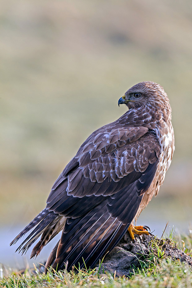Maeusebussarde erbeuten ueberwiegend kleine Saeugetiere, eine sehr wichtige Nahrungsressource sind Maeuse  -  (Foto Maeusebussard auf einer Wiese), Buteo buteo, Common Buzzard eats mainly small mammals like mice  -  (European Buzzard - Photo Common Buzzard rests on a meadow)