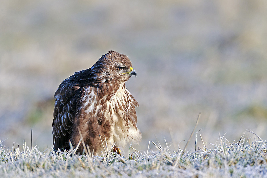 Maeusebussarde erreichen eine Koerperlaenge von 51 - 57cm  -  (Foto Maeusebussard trocknet sein Gefieder auf einem Maulwurfshuegel), Buteo buteo, Common Buzzard has a length of 51 to 57cm  -  (European Buzzard - Photo Common Buzzard dries its feathers on a molehill)
