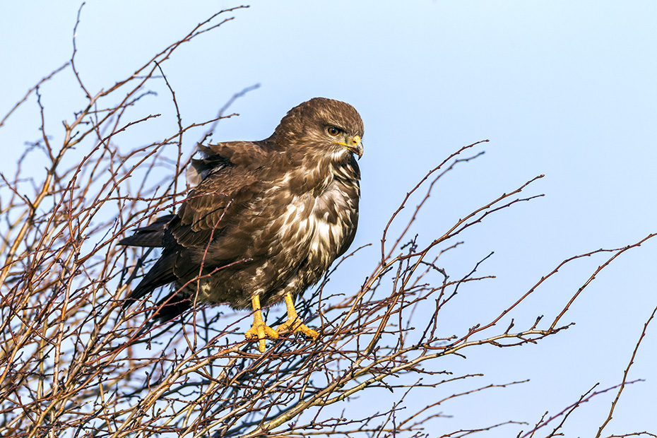 Maeusebussard ist in vielen Laendern Europas ein weitverbreiteter und haeufiger Greifvogel  -  (Foto Maeusebussard auf seinem Jagdansitz), Buteo buteo, Common Buzzard is widespread and common in many parts of Europe  -  (European Buzzard - Photo Common Buzzard uses a tree as an overlook)