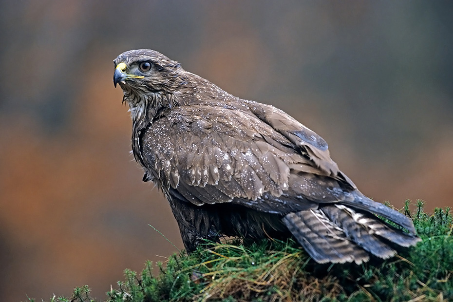 Maeusebussard, die Brutzeit beginnt im Maerz und April  -  (Foto Maeusebussard waehrend eines Regenschauers), Buteo buteo, Common Buzzard, the nesting season starts in March and April  -  (European Buzzard - Photo Common Buzzard in a rain shower)