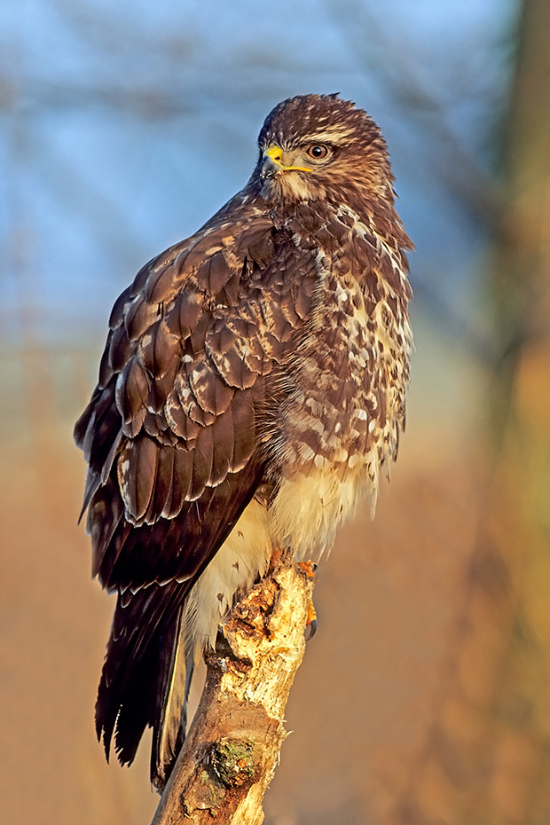 Maeusebussard, dokumentiert ist ein Hoechstalter von 26 Jahren  -  (Foto Maeusebussard an einem toten Feldhasen), Buteo buteo, Common Buzzard, the maximum recorded lifespan is 26 years  -  (European Buzzard - Photo Common Buzzard on a dead Brown Hare)