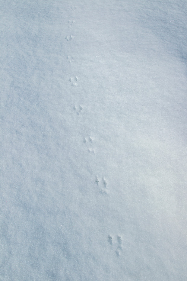 Maeusespuren im Schnee - Typische Spuren einer Kurzschwanzmaus im Schnee, Arvicolinae species, Mouse tracks in snow - Typical tracks of a mouse with short tail in snow
