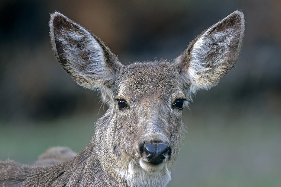 Maultierhirsch, die Paarungszeit wird in der Fachsprache Brunft oder Brunftzeit genannt  -  (Grossohrhirsch - Foto Maultierhirschkalb Portraet), Mule Deer, the mating season called THE RUT  -  (Black-tailed Deer - Photo Mule Deer fawn portrait)