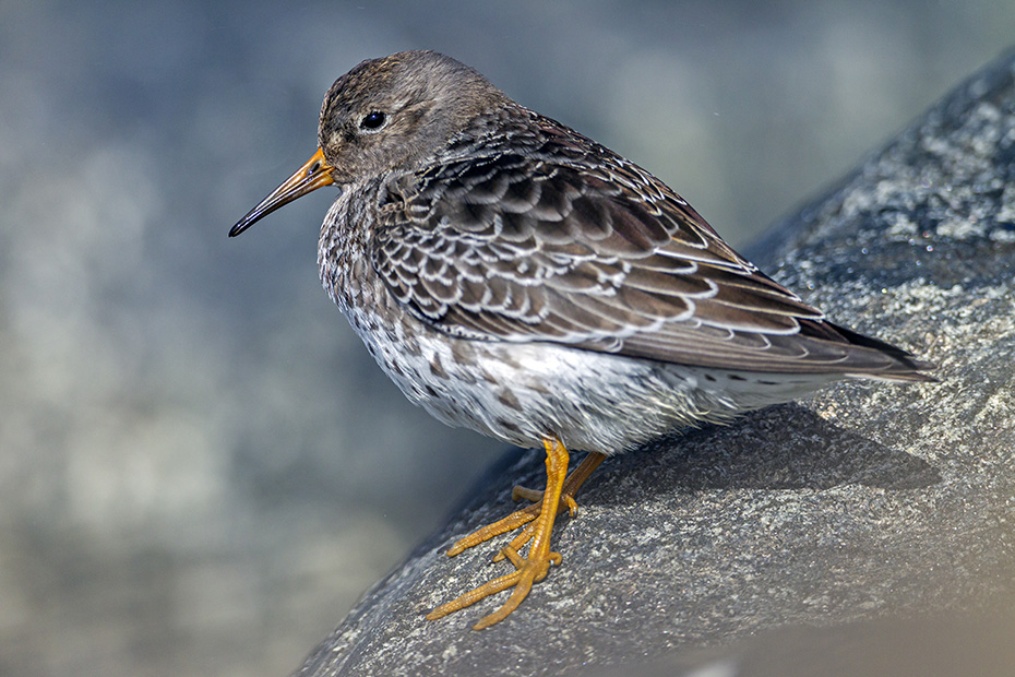 Meerstrandlaeufer suchen ihre Nahrung meist an Felskuesten, gerne auch auf Steinen in der Brandung  -  (Foto Altvogel im Winterkleid), Calidris maritima, Purple Sandpiper forage on rocky coasts  -  (Photo adult bird in basic plumage)
