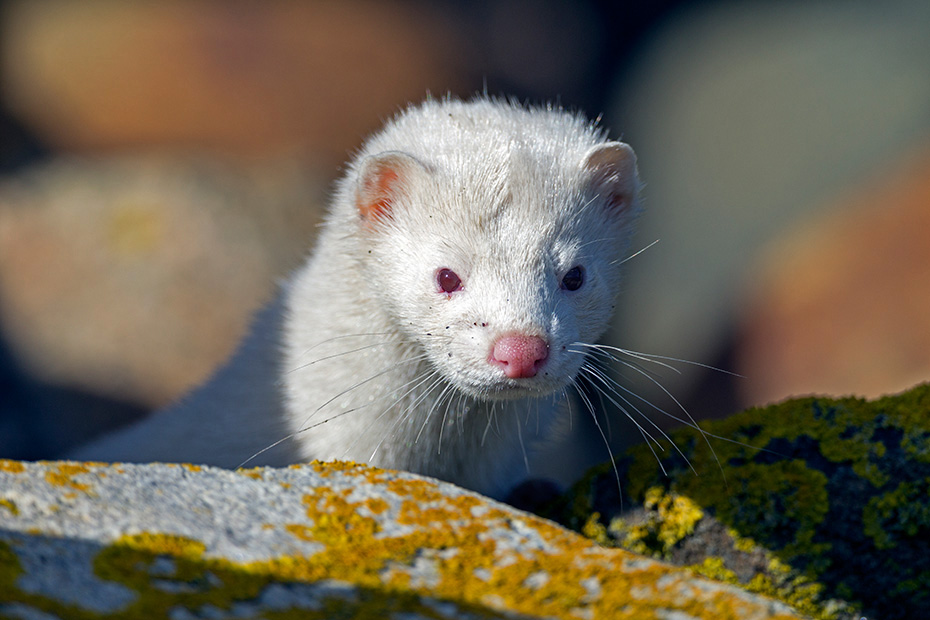 Mink, waehrend der dreiwoechigen Paarungszeit sind die Weibchen in Intervallen von 7 - 10 Tagen empfaengnisbereit  -  (Amerikanischer Nerz - Foto Albino-Mink Portraet), Neovison vison, American Mink, the females are receptive for 7 to 10 days intervals during the three-week breeding season  -  (Photo American Mink albino portrait)