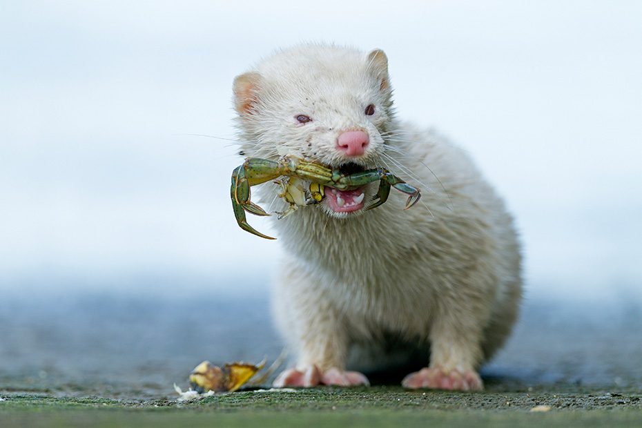 Mink hat breite mit Schwimmhaeuten versehene Pfoten  -  (Amerikanischer Nerz - Foto Albino-Mink mit erbeuteter Strandkrabbe), Neovison vison  -  Carcinus maenas, American Mink, the feet are broad with webbed digits  -  (Photo American Mink albino with captured Shore Crab)