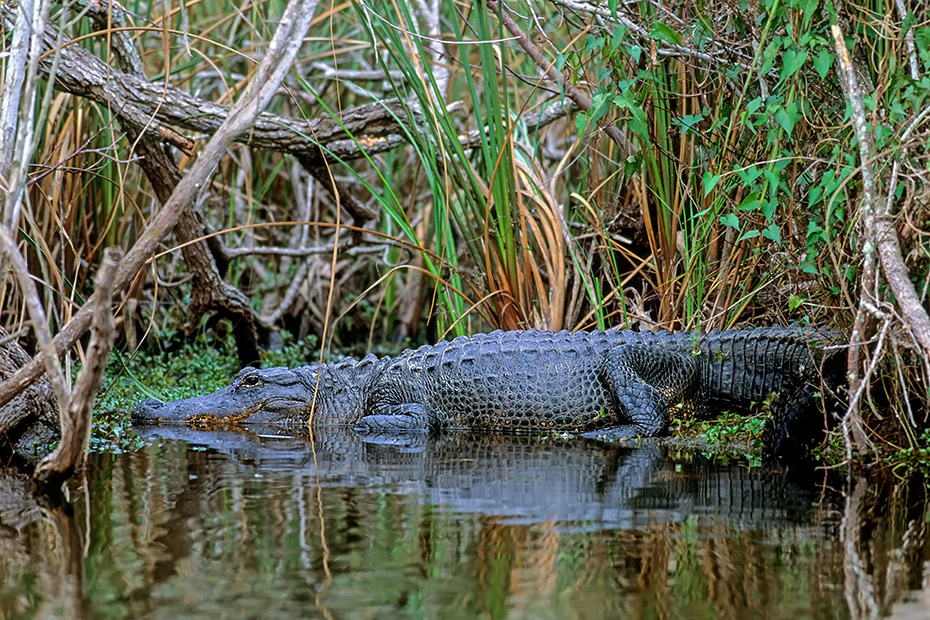 Mississippi-Alligator, die in der Paarungszeit hoerbaren Laute werden mit den Lungen erzeugt  -  (Hechtalligator - Foto Alligator am Anhinga-Trail in den Everglades), Alligator mississippiensis, American Alligator can perform vocalizations to declare territory  -  (Gator - Photo Common Alligator in the Everglades)
