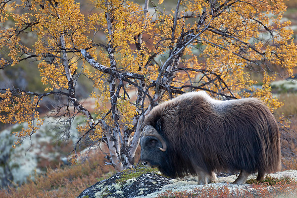 Moschusochse - (Bisamochse - Bulle), Ovibos moschatus, Musk Ox - (bull)