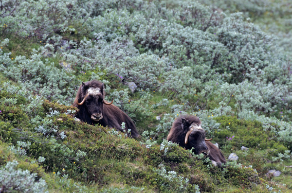 Moschusochsenkuehe ruhen in der sommerlichen Tundra - (Bisamochse - Schafsochse), Ovibos moschatus, Female Muskox resting in the summerly tundra - (Musk Ox - Musk-Ox)