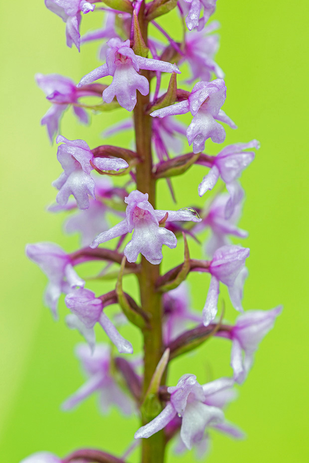 Die Muecken-Haendelwurz blueht von Mai - Juli  -  (Fliegen-Haendelwurz - Foto Muecken-Haendelwurz Grossaufnahme der Blueten), Gymnadenia conopsea, The Fragrant Orchid flowering from May - July  -  (Chalk Fragrant Orchid - Photo Fragrant Orchid close-up of the blossoms)