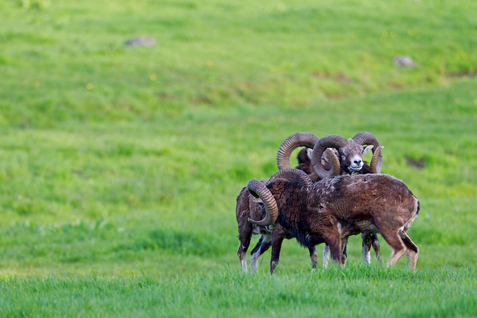 Europaeischer Mufflon, die Tragzeit betraegt circa 5 Monate  -  (Foto Widder in der Zeit des Fellwechsels), Ovis orientalis musimon, Mouflon, the pregnancy lasts 5 months  -  (Photo rams during change of coat)