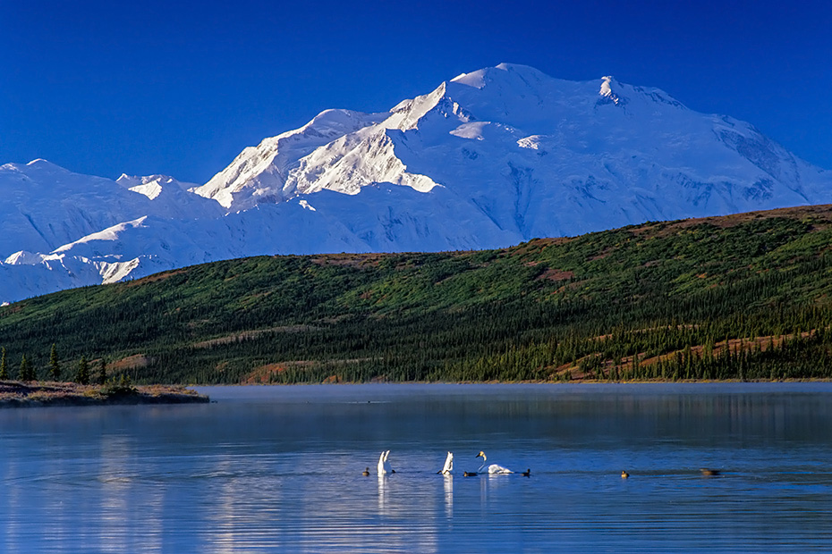 Trompeterschwaene am fruehen Morgen auf dem Wonder Lake mit dem Denali im Hintergrund, Denali Nationalpark  -  Alaska, Trumpeter Swans at early morning on Wonder Lake with Denali in the background