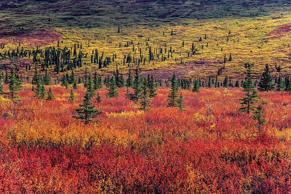 Tundralandschaft mit Zwergbirken und Fichten im Herbst, Denali Nationalpark  -  Alaska, Tundra landscape with Dwarf Birches and spruces in indian summer