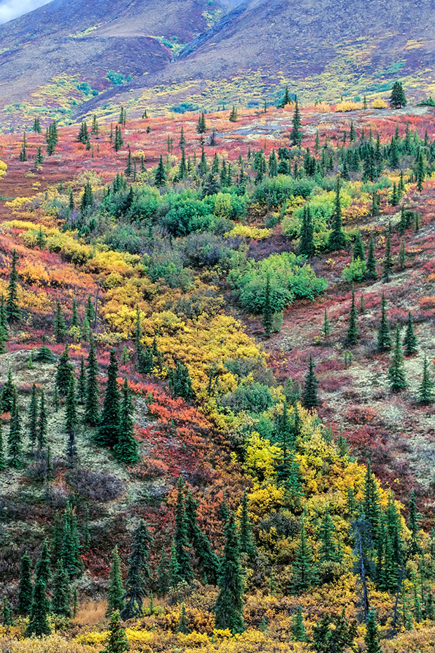 Tundralandschaft im Herbst, Denali Nationalpark  -  Alaska, Tundra landscape in indian summer