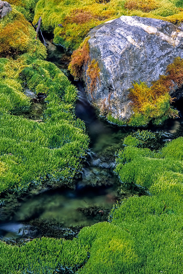 Moospolster am Ufer eines kleinen Baches, Denali Nationalpark  -  Alaska, Moss pads at streamside