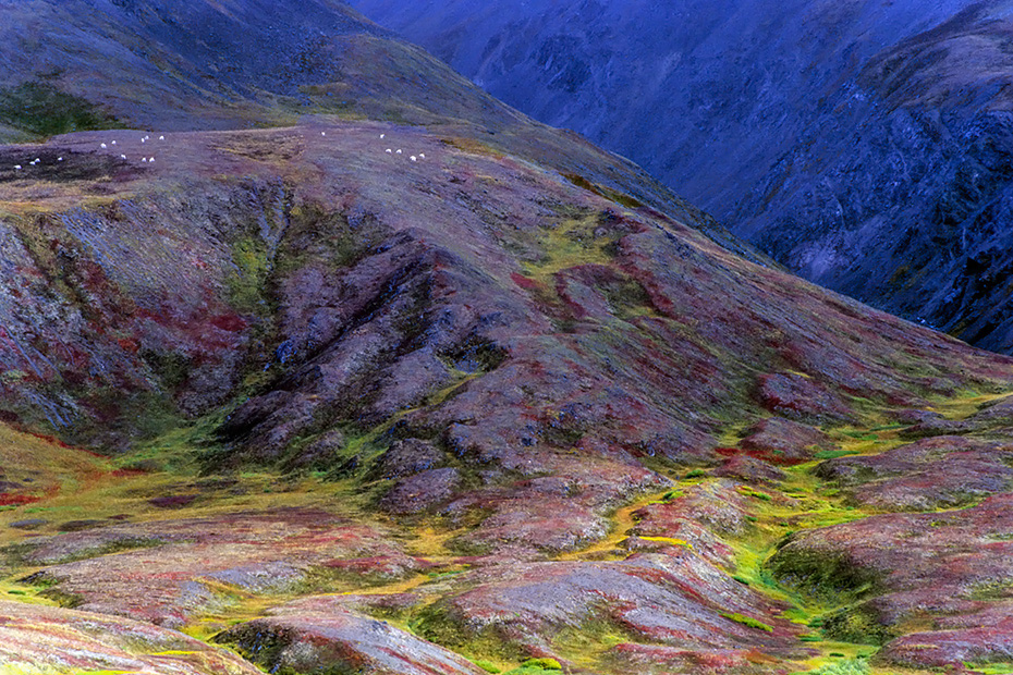 Dall-Schafe an den Flanken der Alaska-Bergkette in herbstlicher Tundra, Denali Nationalpark  -  Alaska, Dall Sheeps at mountainside of the Alaska range in autumnal tundra landscape