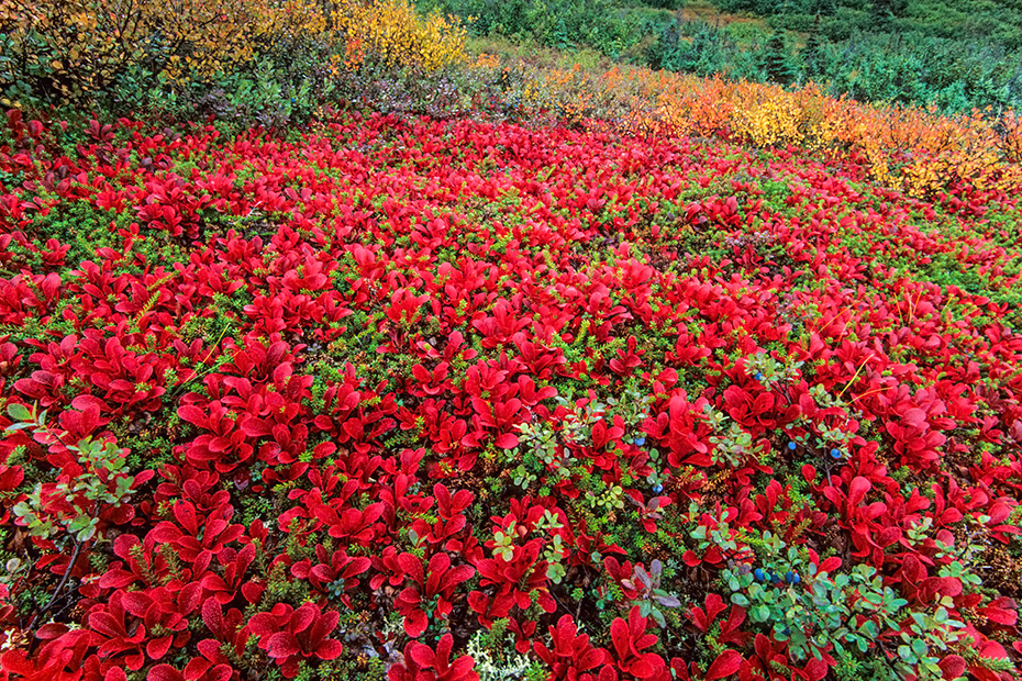 Tundralandschaft mit Alpenbaerentrauben im Herbst, Denali Nationalpark  -  Alaska, Tundra landscape with Alpine Bearberry in autumn