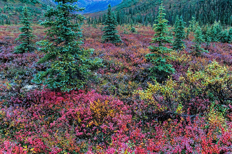 Weiss-Fichten in herbstlicher Tundralandschaft, Denali Nationalpark  -  Alaska, White Spruces and tundra landscape in fall