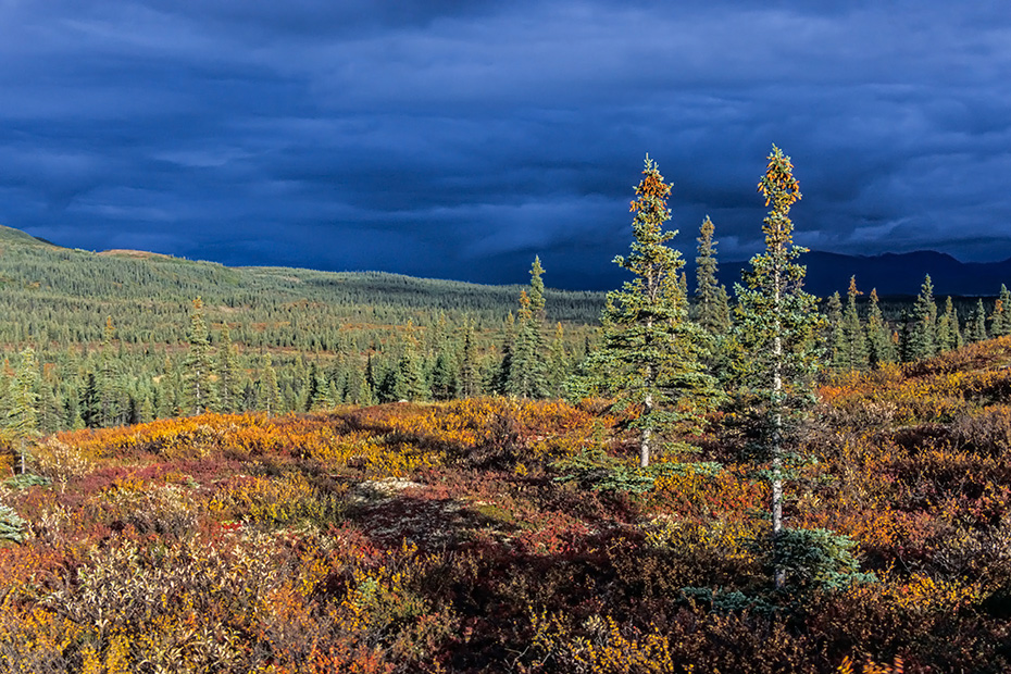 Tundralandschaft mit Fichten im Herbst, Denali Nationalpark  -  Alaska, Tundra landscape with spruces in indian summer