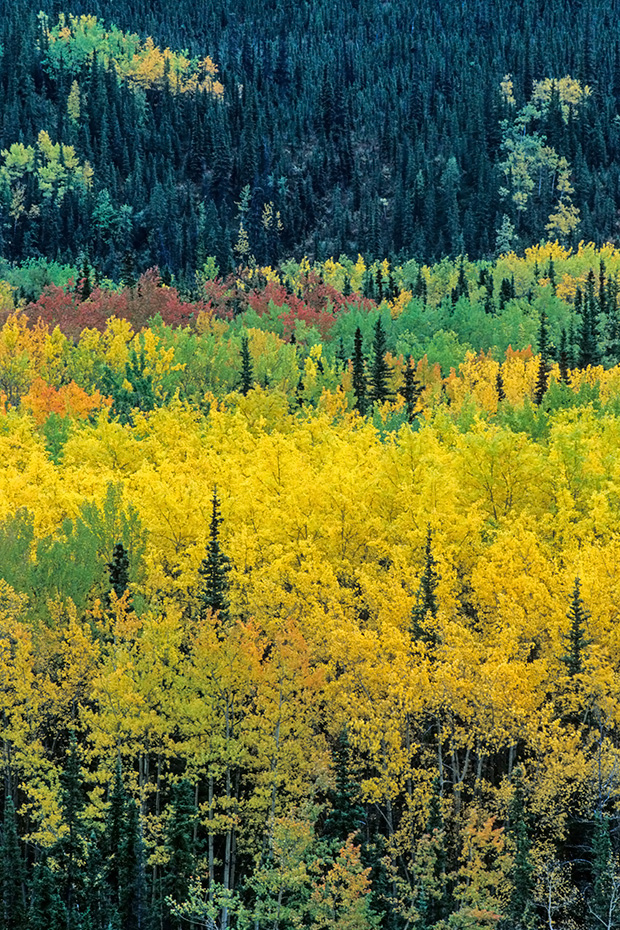 Zitterpappeln im Herbst, Denali Nationalpark  -  Alaska, Quaking Aspen in autumn