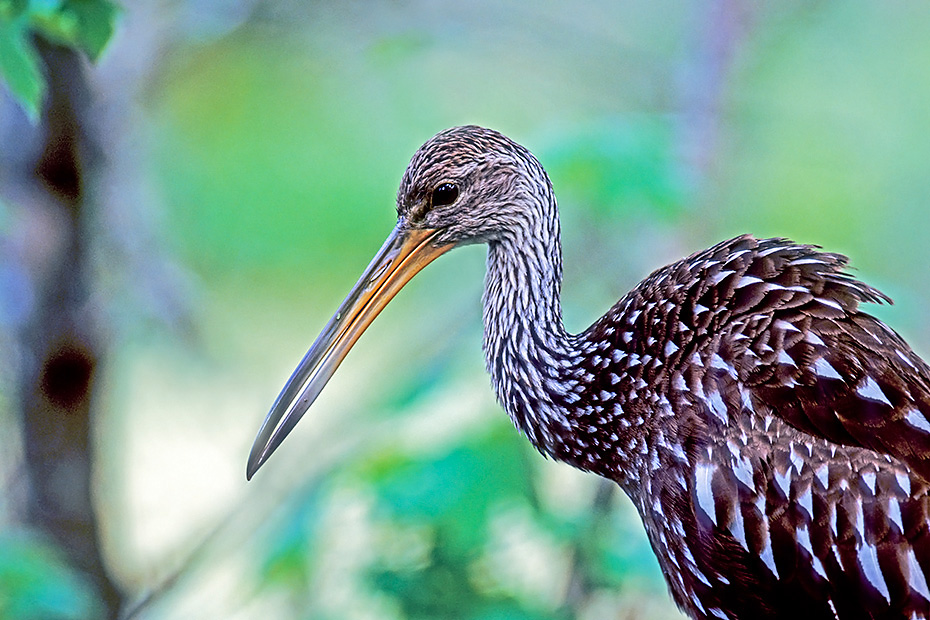 Rallenkraniche erreichen eine Fluegelspannweite von 101 - 107cm  -  (Foto Rallenkranich Portraet), Aramus guarauna, Limpkin has a wingspan of 101 to 107cm  -  (Carrao - Photo Limpkin adult bird portrait)