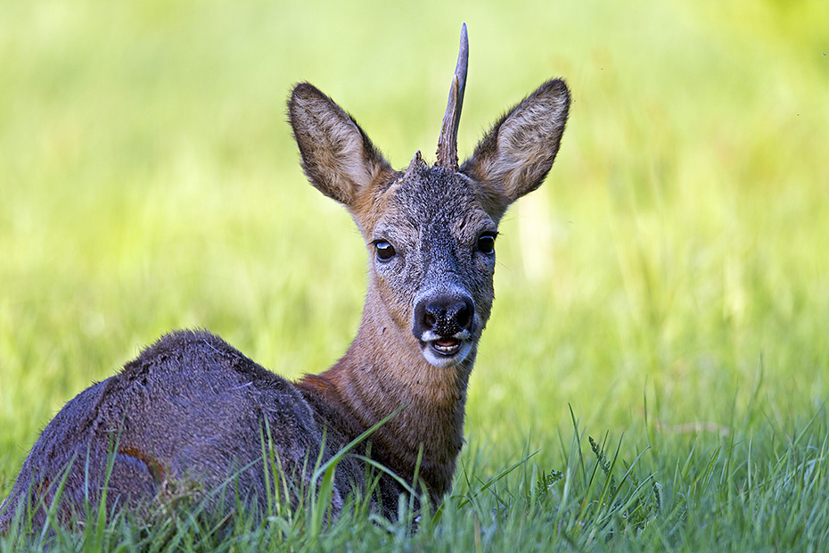 Rehe sind in Europa die kleinsten, natuerlich vorkommenden Vertreter aus der Familie der Hirsche  -  (Rehwild - Foto Rehbock ruht auf einer Wiese), Capreolus capreolus, European Roe Deer is the smallest native deer species in Europe  -  (Western Roe Deer - Photo European Roe Deer a buck rests on a meadow)